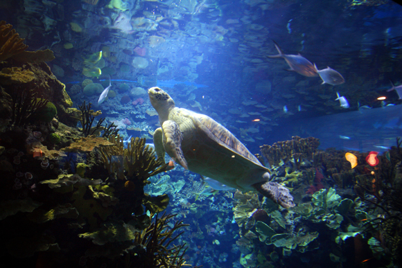 A turtle in Beijing Aquarium, the world' largest inland aquarium. 2009
