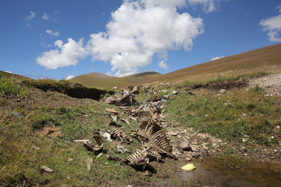 Yak carcasses are left discarded in and next to a waterway on the grasslands of the Tibetan Plateau. 2012
