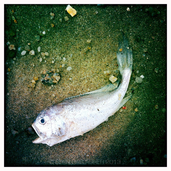 A dead fish lies on the beach in the coastal city of Zhanjiang, in southern China. 2012