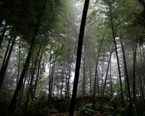 Bamboo Nation: Threatened Forests