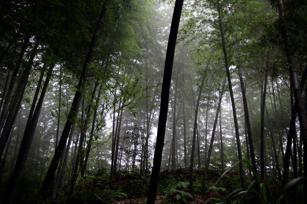 The bamboo forests of Zhuhai, in southern Sichuan Province.