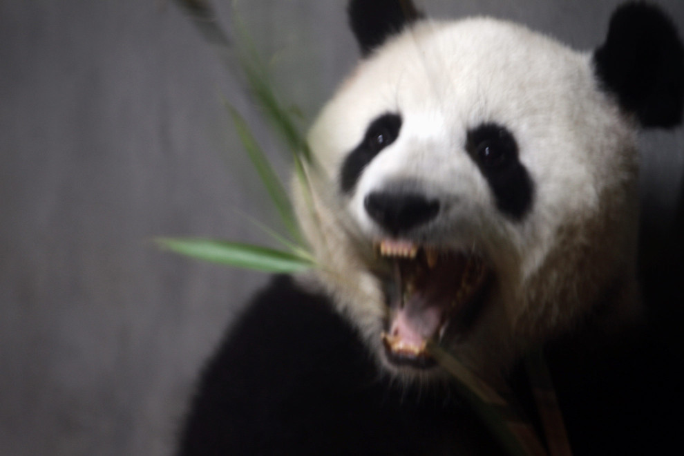A Giant Panda eating bamboo in an enclosure at the Chengdu Panda Breeding Center, in south-west China.