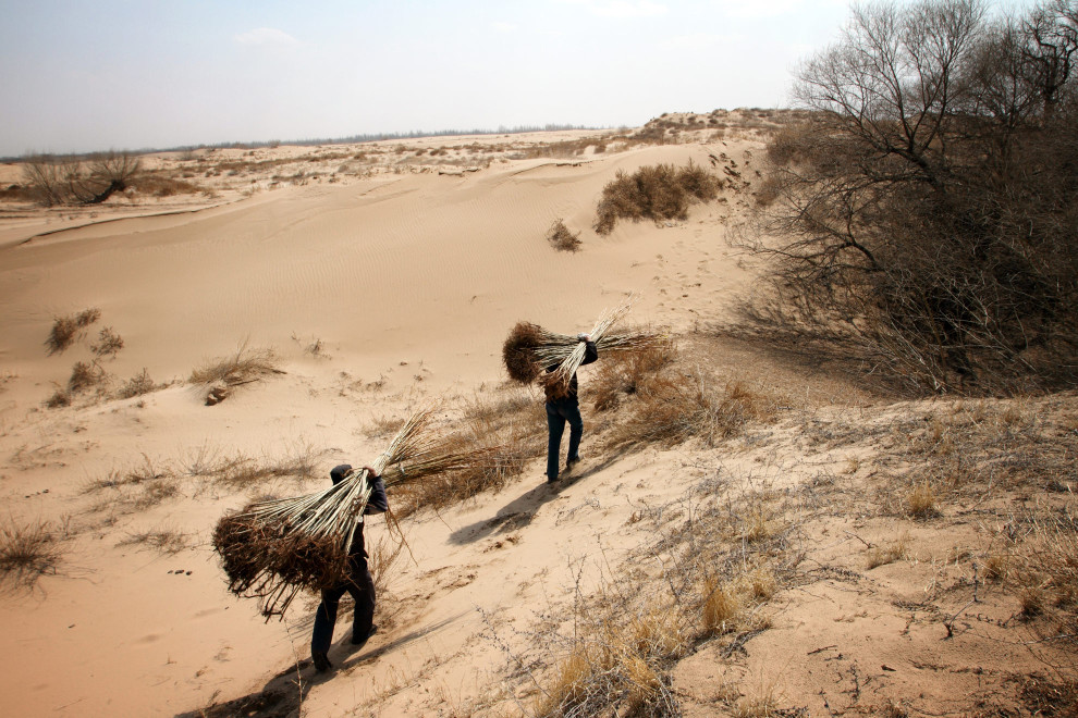 Farmers carrying tree saplings into the deserts of Inner Mongolia.