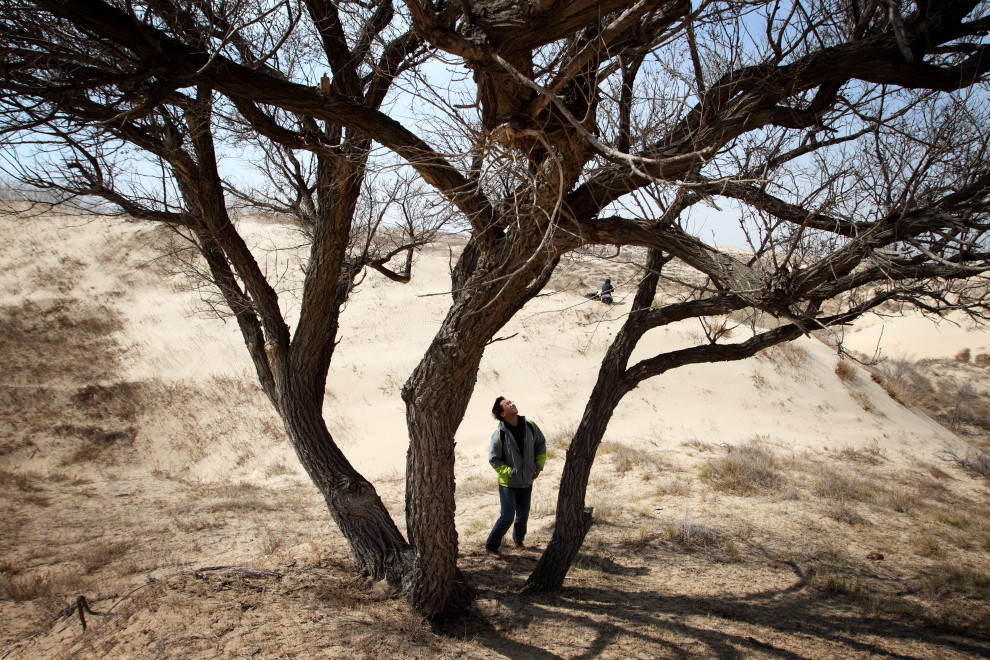 A Roots and Shoots staff member inspects a tree in the Inner Mongolian desert.