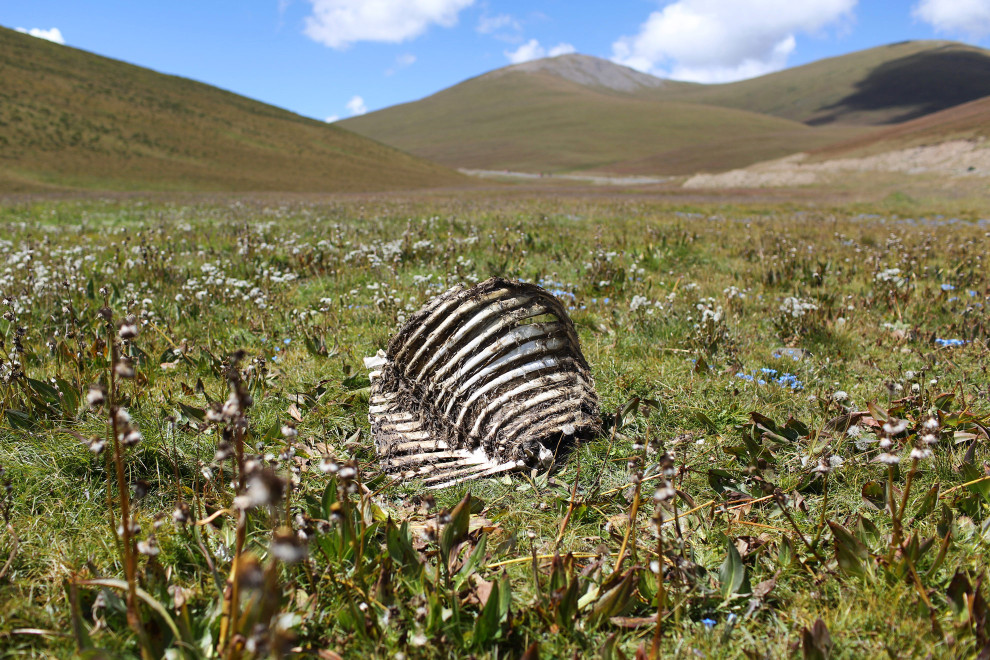 The ribcage of a yak lies in the highland grasslands 5,000 meters above sea level.