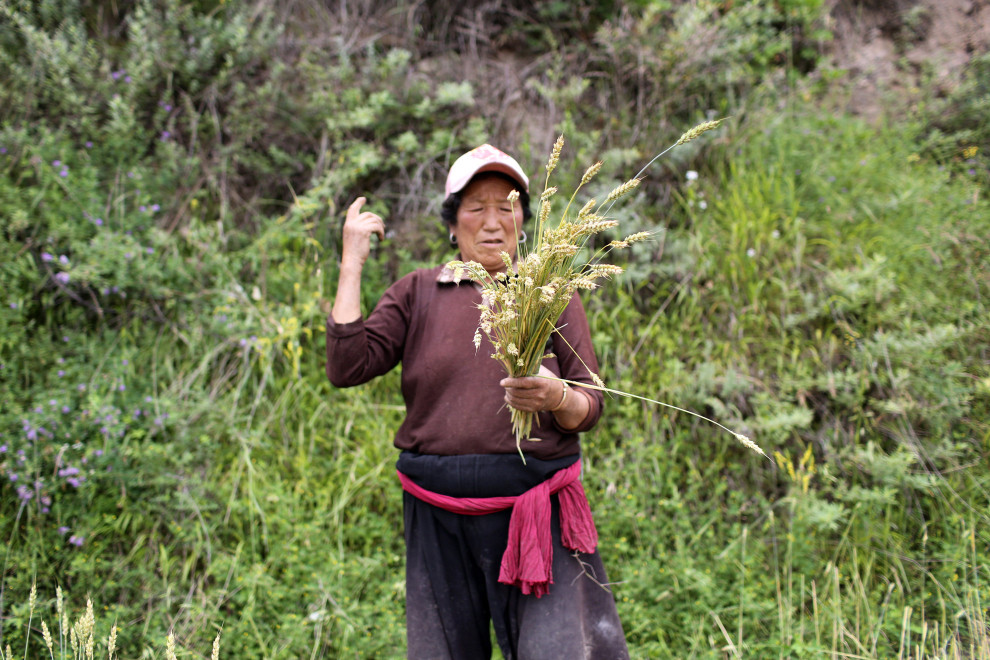 "A Tibetan woman collects corn in the mountains of Aba. As temperatures rise on the plateau, communities living on the ""roof of the world"" will be some of the first to feel the effects."