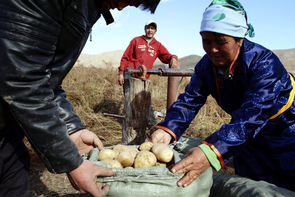 Members of the Altansumber Forest User Group, prepare to store vegetables underground.