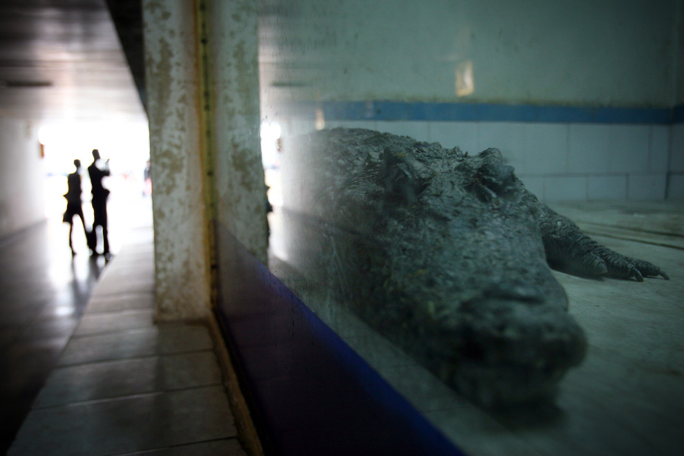 A crocodile in an enclosure in Wuhan zoo.