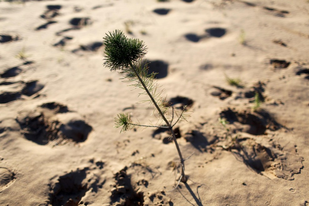 A small tree grows out of the sand in a new tree-planting area planted by Yi Jiefang, the founder of Chinese NGO 'Greenlife' which plants trees in Inner Mongolia in an effort to combat increasing desertification in the north of the country.