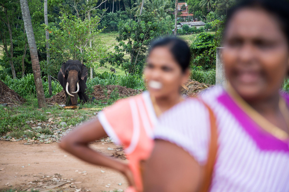 Human-elephant conflict is increasingly becoming an issue in Sri Lanka, as habitat fragmentation forces elephants into human settlements, often in search for food. At the Pinewalla elephant orphanage however, locals are are able to get up close and view the animals. A number of the larger elephants, such as the one pictured, are chained up to prevent them getting near people.