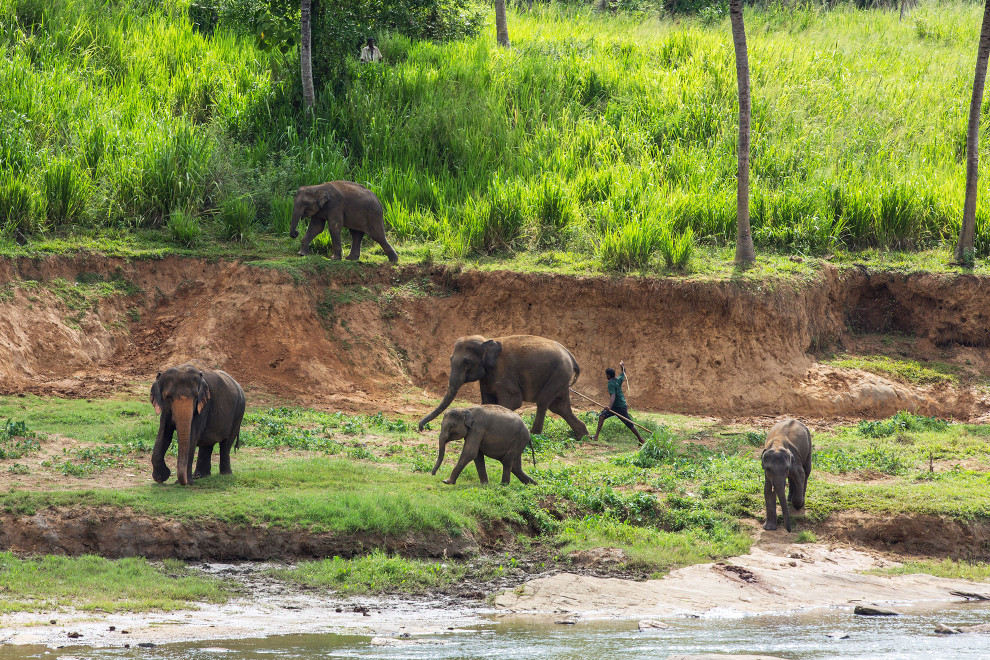 A mahout (a person who cares for elephants) beats an elephant as he tries to round up a stray herd at the Pinewalla orphanage in Sri Lanka. The government run center was set up to care for young elephants whose parents had died, often as a result of human-elephant conflict. Centres like this remain controversial however and are questioned as viable long term solutions for helping the threatened species.