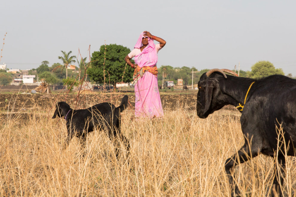 A woman watches over her goats which graze on dry grass in drought-stricken fields near the city of Latur.