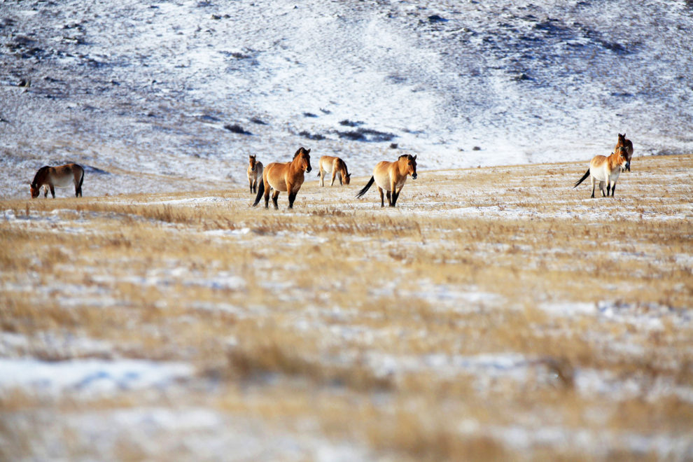 A small herd of Przewalski Horses in the Hustai National Park, in central Mongolia.
