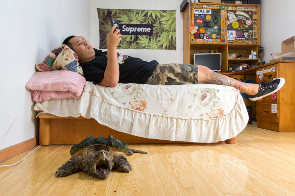 """Liu Zhaobei, 25, lies in his bedroom with an alligator snapping turtle (Macrochelys temminckii ). Listed by the IUCN as 'vulnerable' in the wild, the species is typically found in the southeastern states of the United States. Liu began collecting animals in his childhood and now has over thirty different frogs, three alligator snapping turtles and numerous snakes and turtles. """"It's obvious it [collecting exotic pets] is becoming more popular. Even at my university there are more course about breeding exotic pets."""""""