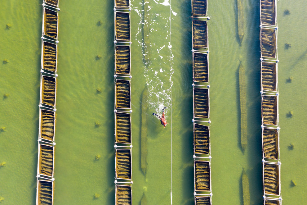 A diver harvests sea cucumbers on a farm near the Luan River in Hebei Province, northern China. Sea cucumbers are sensitive to rising temperatures and harvest numbers have dropped in years when the water temperature is higher than average, leading to concerns about the future of local aquaculture with a warming climate. 2019