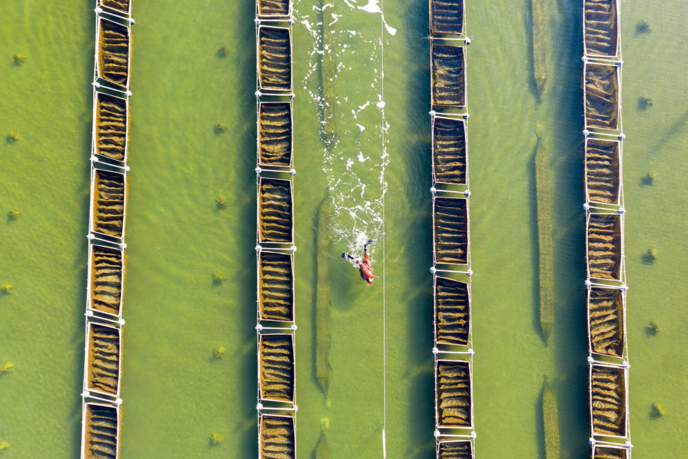 A diver is seen from above as he diligently harvests sea cucumbers on a farm near the picturesque Luan River in Hebei Province, northern China.