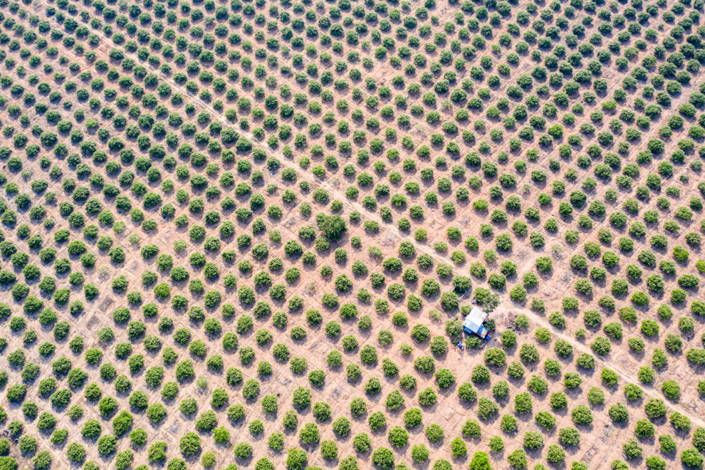 A cashew nut plantation in the Beng Per Wildlife Sanctuary, in northern Cambodia. It is a sanctuary in name only as most of the land has been sold by the government for agricultural concessions.